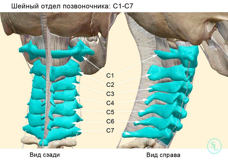 Позвонки шейного отедла - c1, c2, c3, c4, c5, c6 и c7
